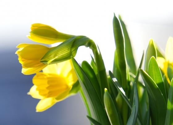 The Handcrafted Daffodil